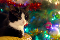 Black and white cat ahead a christmas pine tree Royalty Free Stock Photo