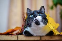 Black and white cat with autumn leaves. Funny cute black and white cat with yellow and orange autumn leaves looking up stock photo