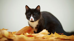 Black and white cat with autumn leaves. Stock Photos