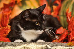 Black and white cat with autumn maple leaves. And pumpkin Royalty Free Stock Photography