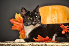 Black and white cat with autumn maple leaves. And pumpkin Royalty Free Stock Photos