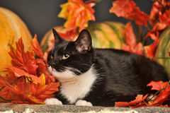 Black and white cat with autumn maple leaves. And pumpkin Stock Image