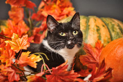 Black and white cat with autumn maple leaves. And pumpkin Stock Photo
