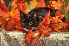 Black and white cat with autumn maple leaves Royalty Free Stock Photos