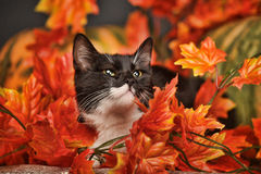 Black and white cat with autumn maple leaves. And pumpkin Royalty Free Stock Images
