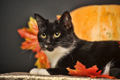 Black and white cat of autumn maple leaves Stock Image