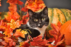 Black and white cat of autumn maple leaves. In the studio Royalty Free Stock Photo