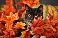 Black and white cat of autumn maple leaves. In the studio Stock Photo