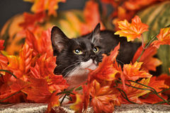 Black and white cat of autumn maple leaves. In the studio Royalty Free Stock Photography