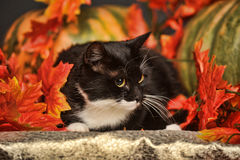Black and white cat of autumn maple leaves. In the studio Stock Image