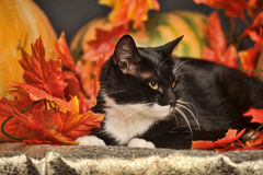 Black and white cat of autumn maple leaves. In the studio Royalty Free Stock Images