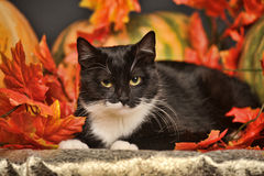 Black and white cat of autumn maple leaves. In the studio Stock Images