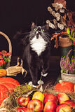 Black and white cat among autumn vegetables Stock Image
