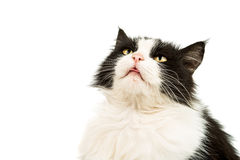 Black and white cat Royalty Free Stock Image