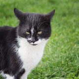 Black and white cat. Stock Image