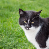 Black and white cat. Royalty Free Stock Image