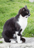 Black and white cat. Royalty Free Stock Photo