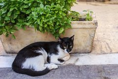 Black and white cat in basil. Black and white cat resting in a flowerpot with basil Stock Image
