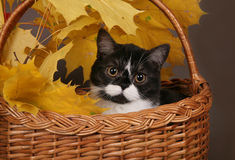 Black and white cat in a basket. With yellow leaves Stock Image