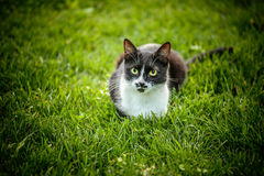 Black-and-white cat. Beautiful black-and-white cat in city's green summer garden Stock Image
