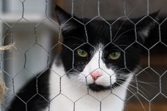 Black and white cat behind a metal fence staring at the camera. A black and white cat behind a metal fence staring at the camera Stock Image