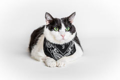 Cat with bandana. Portrait of a green eyed cat with a black bandana, white studio background Stock Photography