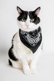 Cat back and white. Portrait of a cute green eyed cat wearing a bandana with a white studio background Stock Images