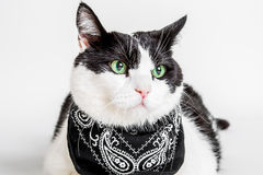 Cat black and white. Portrait of a green eyed cat with a black bandana, white studio background Royalty Free Stock Photos