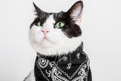 Cat. Black and white spotted short haired cat with green eyes and black bandana around neck. Studio, white buckground Stock Image