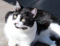 Black and white cat. Enjoying the morning sun in the yard royalty free stock images