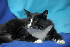 Black and white cat. On a blue background Royalty Free Stock Image