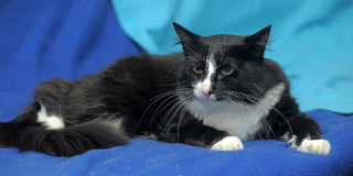Black and white cat. On a blue background Royalty Free Stock Images