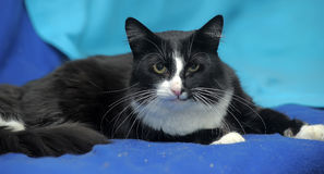 Black and white cat. On a blue background Stock Photos