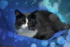 Black and white cat. On a blue background Royalty Free Stock Photo
