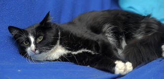 Black and white cat. On a blue background Royalty Free Stock Photography