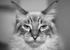 B&W Cat Stock Photo