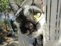 Black and white cat in Brazil South America. Beautiful black and white cat, pet in Brazil South America 2016 Royalty Free Stock Image