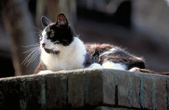 Black and White Cat on a Brick Wall Royalty Free Stock Photo