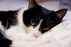 The cat lies Royalty Free Stock Images