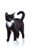 Black-and-white cat. Cat on a white background. Black cat. House predator. Small predatory animal stock images