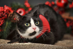 Black and white cat on a Christmas background Stock Image