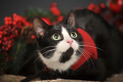 Black and white cat on a Christmas background Stock Photography