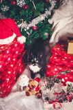 Black and white cat among Christmas decorations Royalty Free Stock Photography