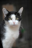 Black white cat Royalty Free Stock Photo