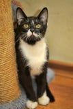 Black white cat Royalty Free Stock Photo