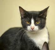 Black white cat Royalty Free Stock Photos