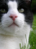 Black and white cat closeup Royalty Free Stock Photo