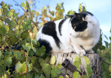 Black and white cat. Black and white cat crouched on a wooden post amongst foliage in a vineyard stock images