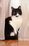 Black and white cat in the curtains. Black and white cute cat sitting on the floor and bright curtains Stock Photos