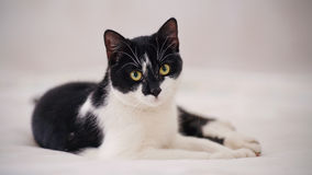 Black-and-white cat Royalty Free Stock Photo